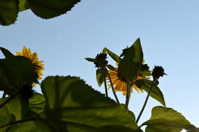 Sunflowers from Behind