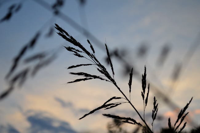 grass in the sunset