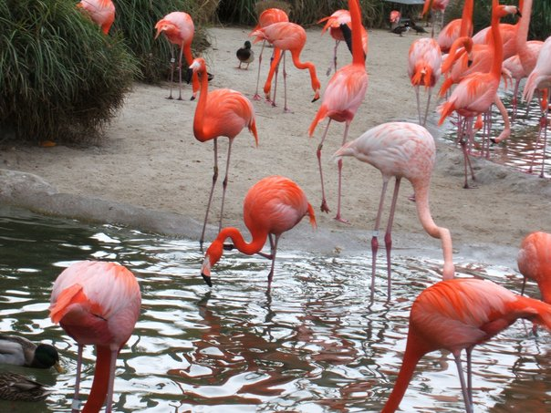zoo flamingos